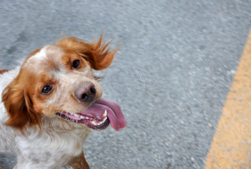Cão de caça no fundo de uma estrada no movimento fotos de stock