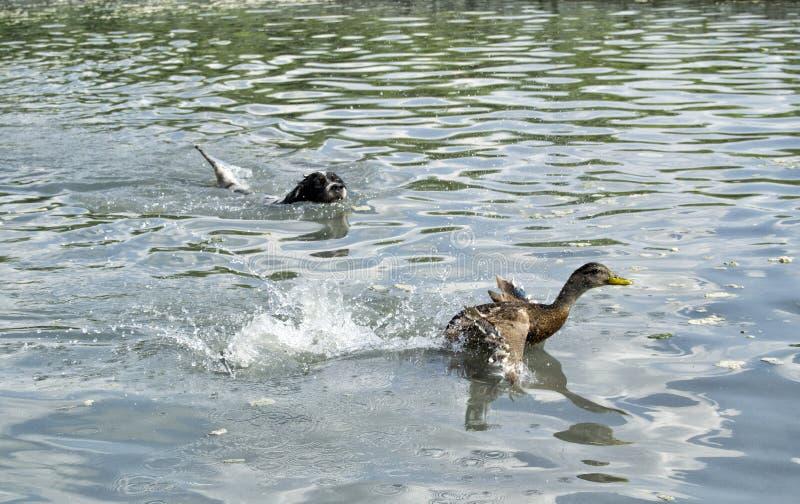 Cão de caça que persegue uma natação do pato na água fotografia de stock
