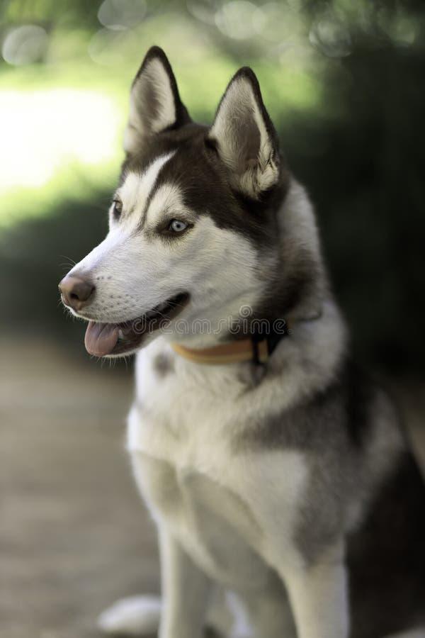 Cão-de-cabeça siberiano fotografia de stock royalty free