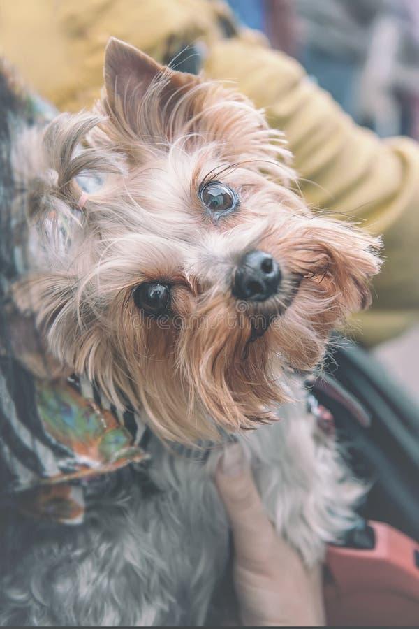 Cão de cabelos compridos pequeno bonito que pendura em um saco escuro na loja que espera o mestre em um dia ensolarado foto de stock royalty free