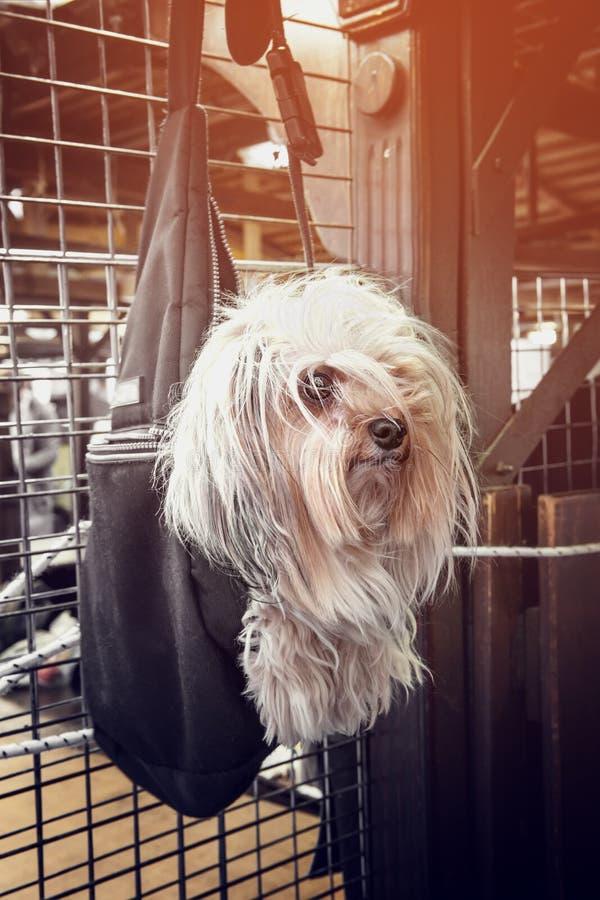 Cão de cabelos compridos pequeno bonito que pendura em um saco escuro na loja que espera o mestre em um dia ensolarado imagem de stock royalty free