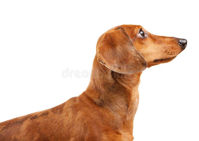 Cão de cabelos curtos do Dachshund foto de stock