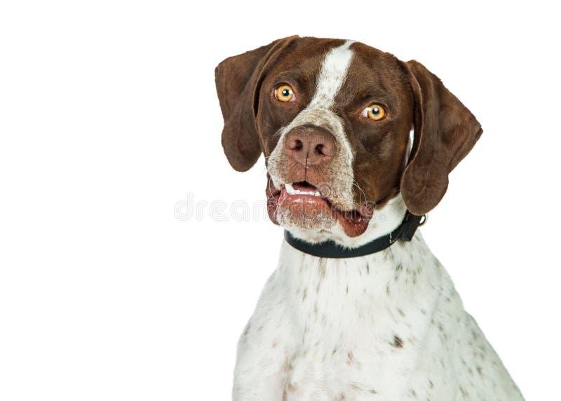 Cão de cabelos curtos do ponteiro do retrato do close up imagens de stock