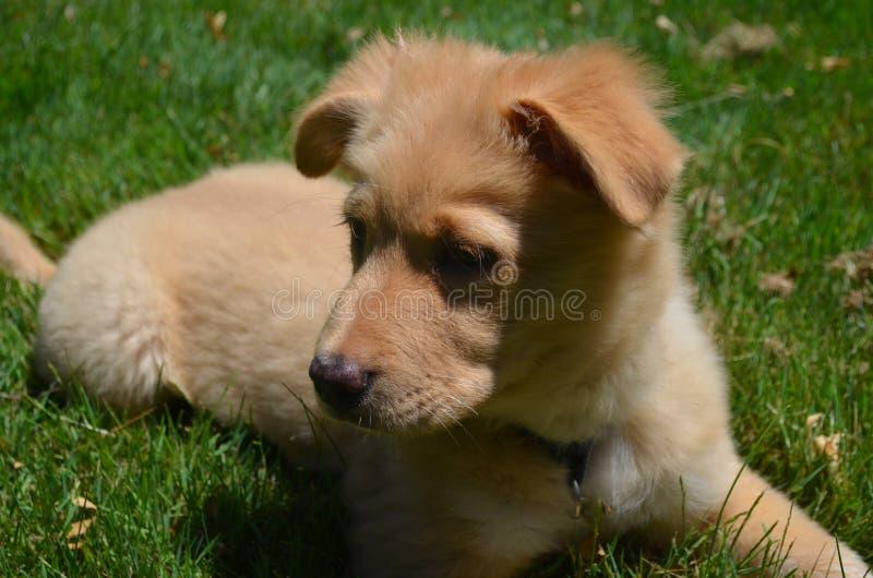 Cão de cachorrinho anunciando do perdigueiro que descansa na grama imagem de stock