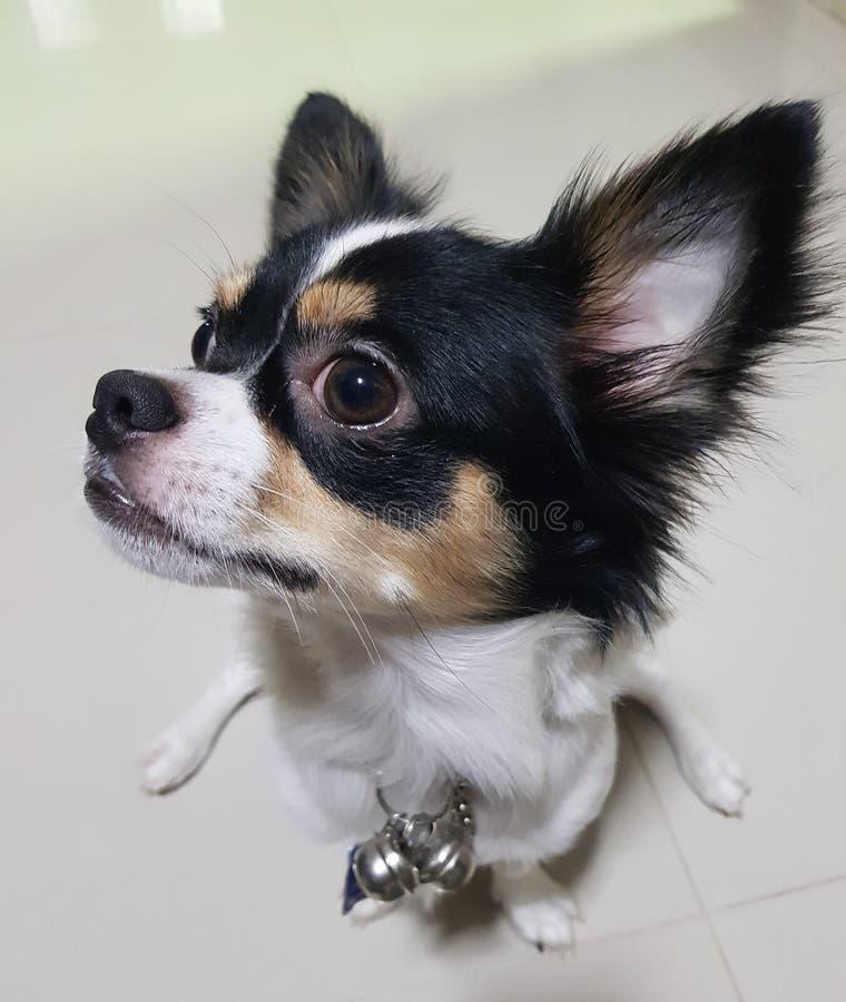 Cão de cachorrinho bonito da chihuahua com órgãos defocused do bokeh imagens de stock