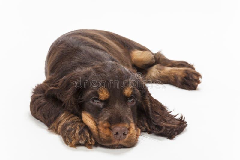 Cão de cachorrinho bonito de cocker spaniel fotos de stock royalty free