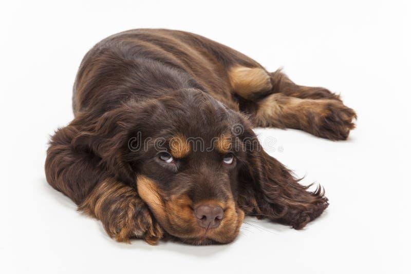 Cão de cachorrinho bonito de cocker spaniel que olha acima fotos de stock royalty free