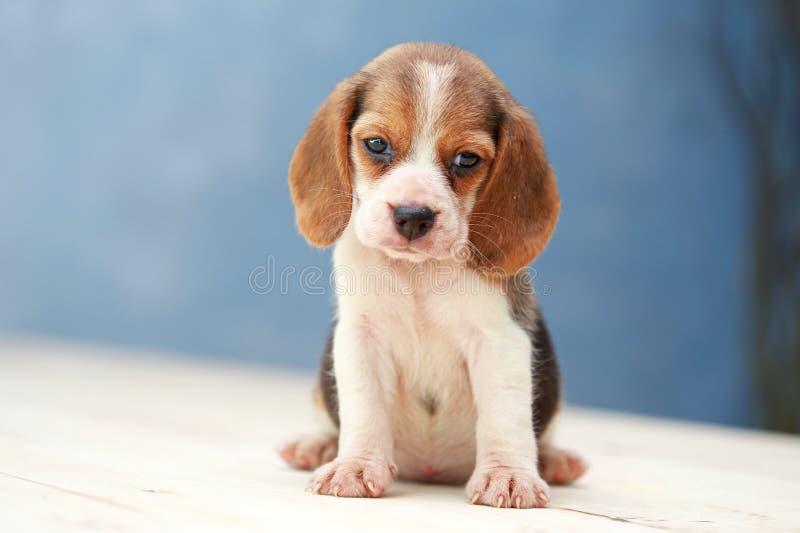cão de cachorrinho bonito do lebreiro fotos de stock