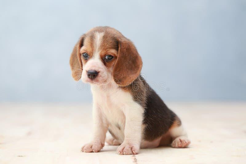 cão de cachorrinho bonito do lebreiro fotos de stock royalty free
