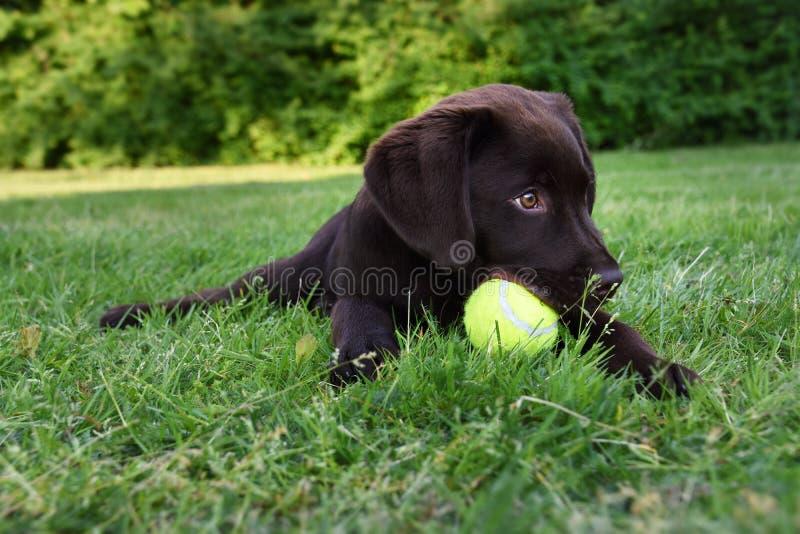 Cão de cachorrinho bonito de Labrador que encontra-se para baixo na grama com a bola de tênis na boca fotografia de stock