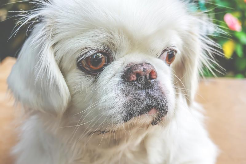 Cão de cachorrinho branco pequeno bonito do pequinês fotos de stock