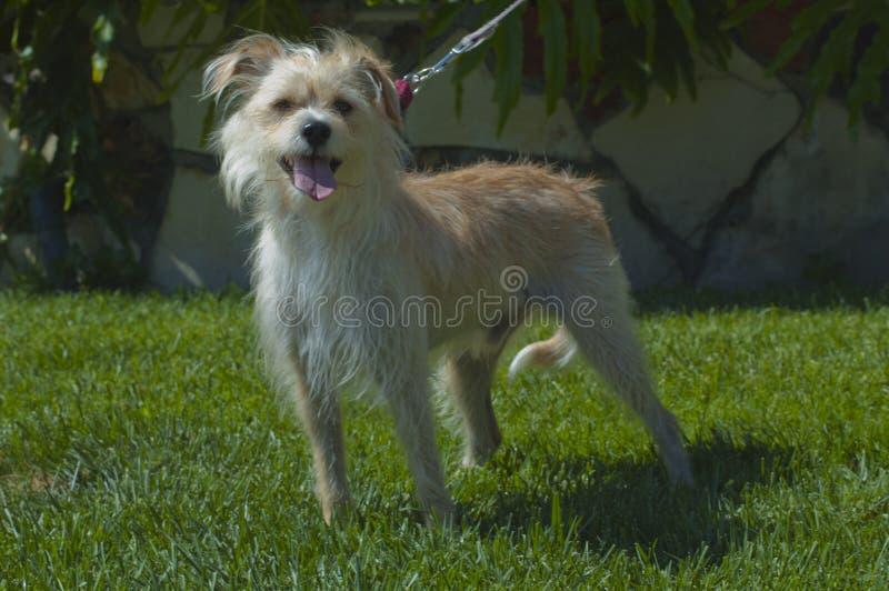 Cão de cachorrinho bronzeado e branco bonito do terrier em trens da trela na grama fotos de stock
