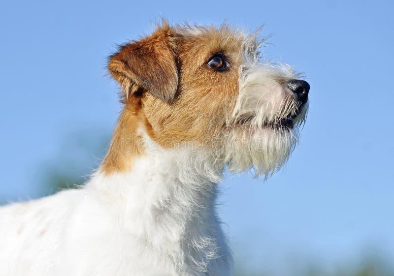 Cão de cachorrinho de cabelo do terrier do fio de Jack Russell do close-up do retrato no fundo azul fotografia de stock royalty free