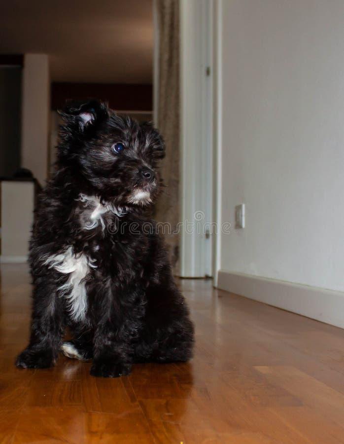 Cão de cachorrinho de cabelos compridos preto com um remendo branco pequeno, fotos de stock royalty free