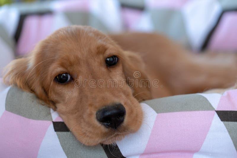 Cão de cachorrinho cocker spaniel que dorme em um sofá fotos de stock royalty free