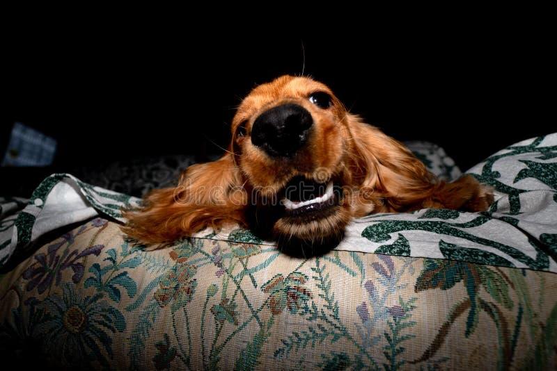 Cão de cachorrinho cocker spaniel que relaxa e que dorme em um sofá fotos de stock