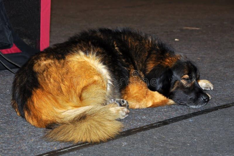 Cão de cachorrinho de Leonberger imagem de stock