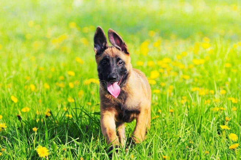 Cão de cachorrinho de Malinois 4 meses de cão pastor belga velho imagens de stock royalty free