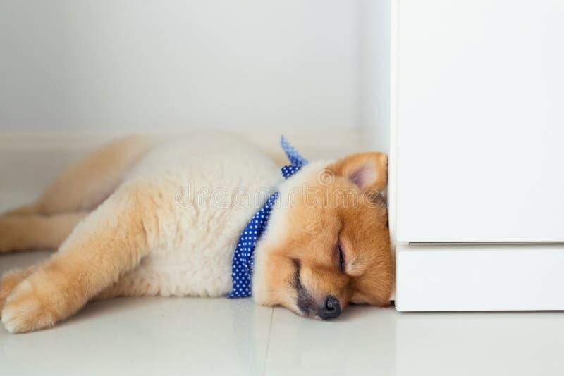 Cão de cachorrinho de Pomeranian que dorme na casa fotografia de stock