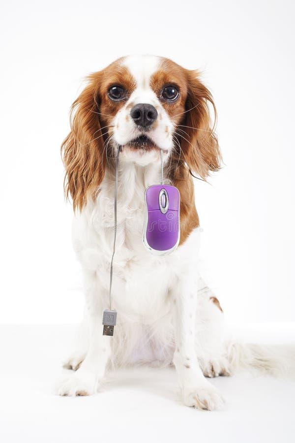 Cão de cachorrinho descuidado do spaniel do spaniel de rei Charles com rato do computador fotografia de stock royalty free