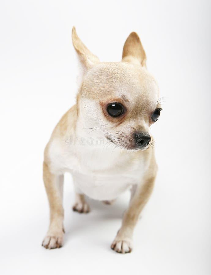 Cão de cachorrinho do bebê da chihuahua na qualidade do estúdio foto de stock