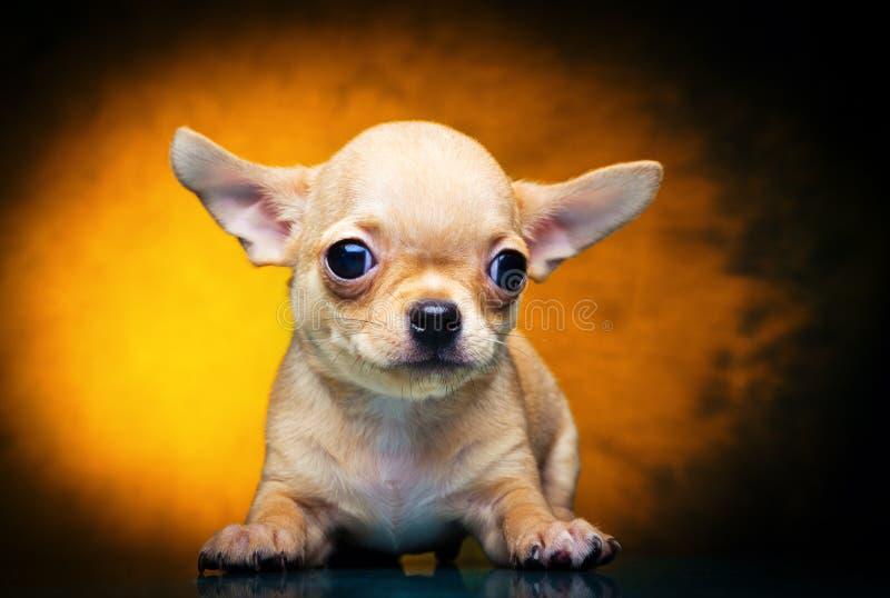Cão de cachorrinho do bebê da chihuahua na qualidade do estúdio imagens de stock royalty free