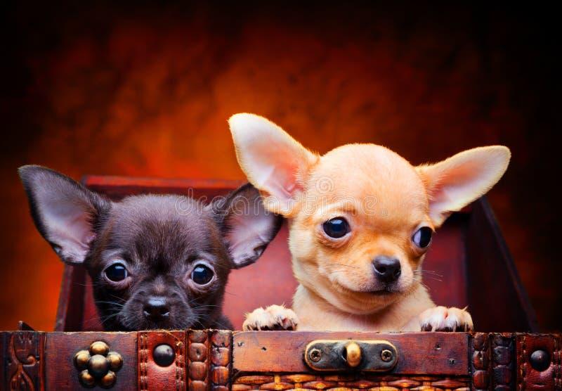 Cão de cachorrinho do bebê da chihuahua na qualidade do estúdio fotos de stock royalty free