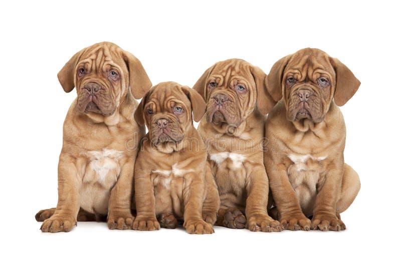 Cão de cachorrinho do Bordéus do grupo fotografia de stock
