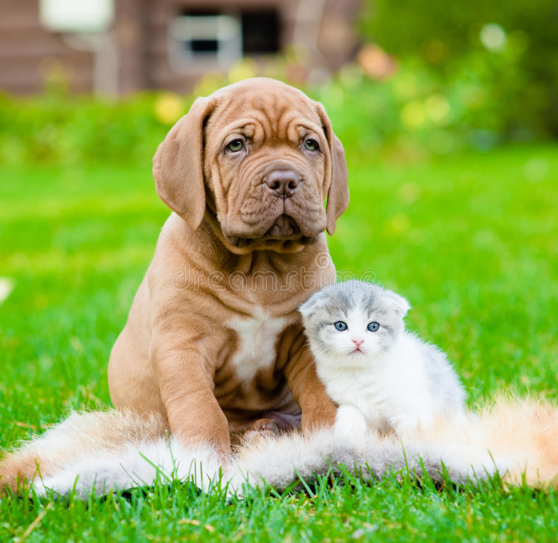 Cão de cachorrinho do Bordéus e gatinho recém-nascido que sentam-se junto na grama verde fotografia de stock