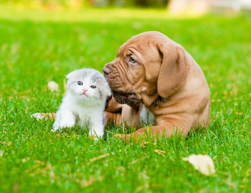 Cão de cachorrinho do Bordéus que aspira um gatinho na grama verde foto de stock royalty free