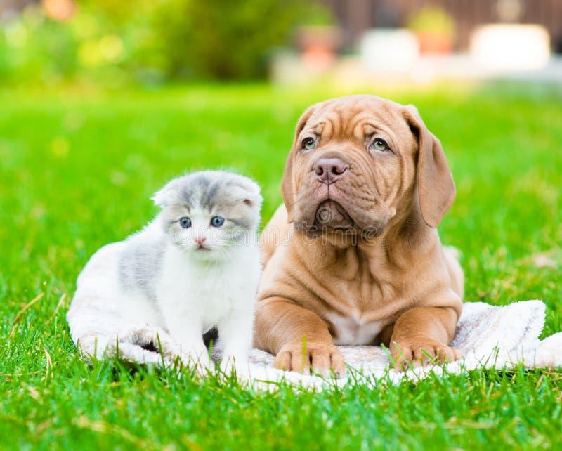 Cão de cachorrinho do Bordéus que encontra-se com o gatinho pequeno na grama verde foto de stock