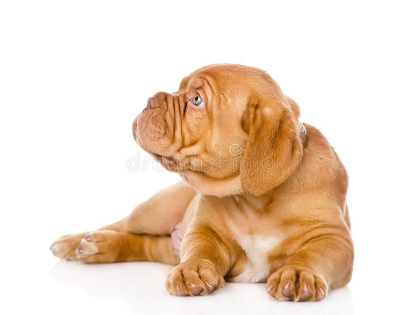 Cão de cachorrinho do Bordéus que olha à esquerda Isolado no branco foto de stock