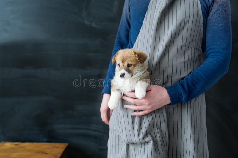 Cão de cachorrinho do Corgi que senta um bolso do avental imagens de stock