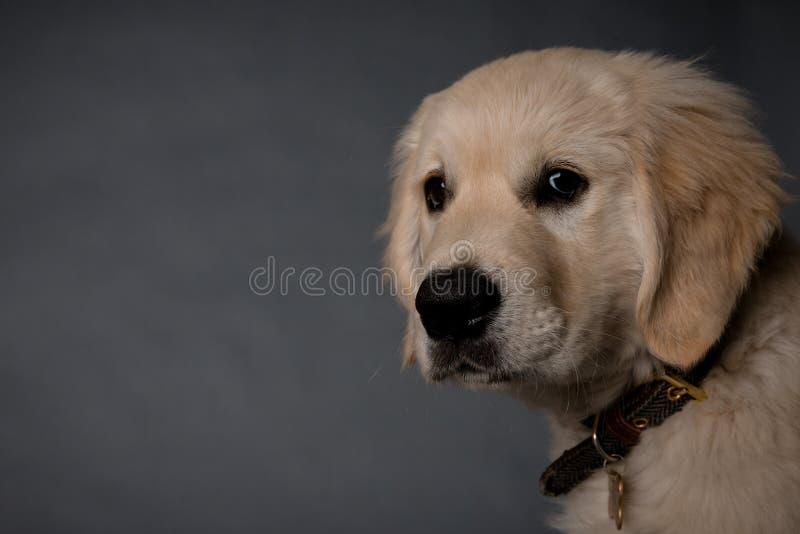 Cão de cachorrinho do golden retriever no fundo cinzento fotografia de stock