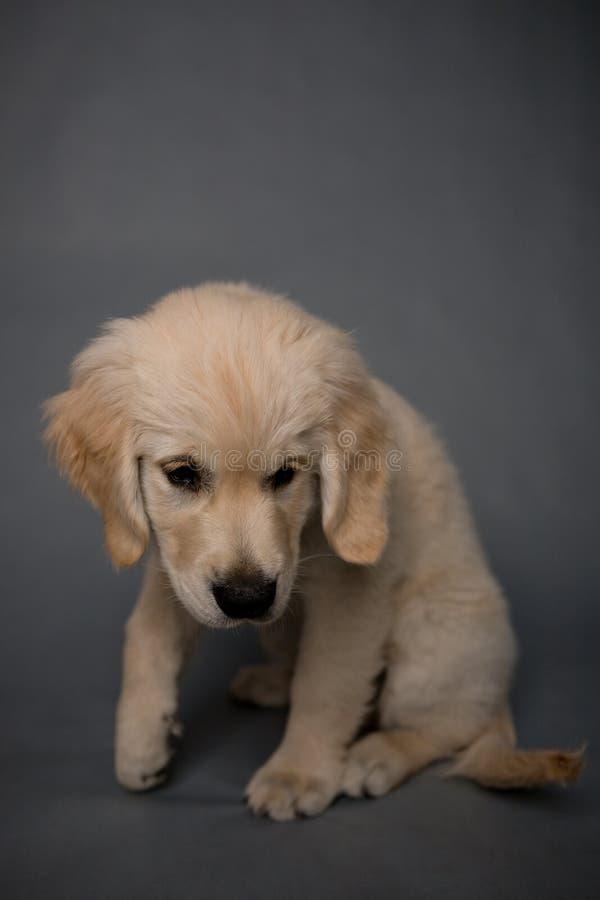 Cão de cachorrinho do golden retriever no fundo cinzento imagens de stock royalty free