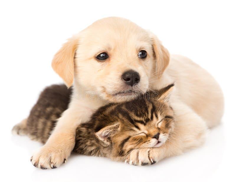 Cão de cachorrinho do golden retriever que abraça o gato britânico do sono Isolado imagem de stock royalty free
