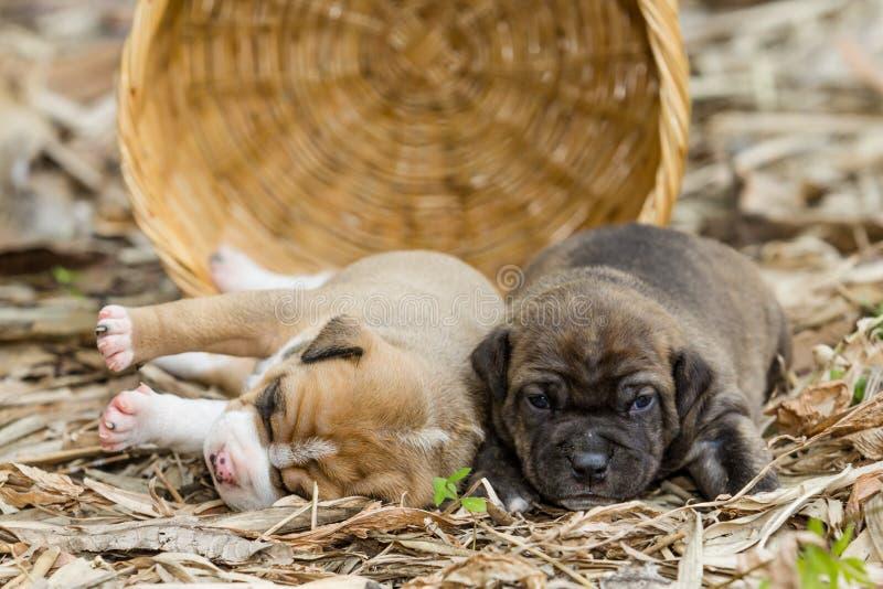 Cão de cachorrinho do pitbull imagens de stock royalty free