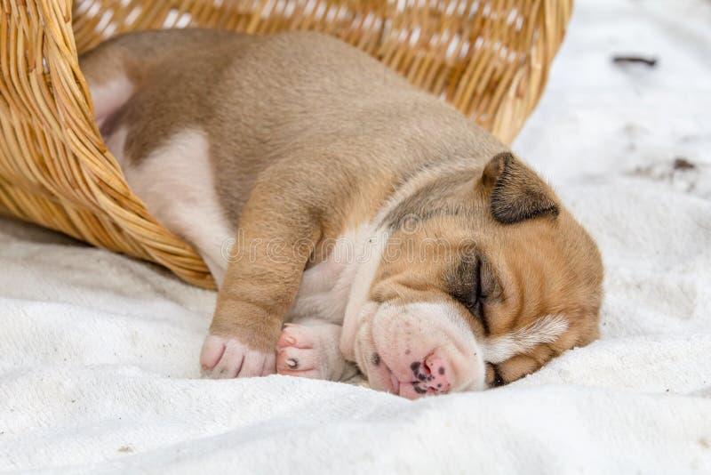 Cão de cachorrinho do pitbull fotografia de stock royalty free