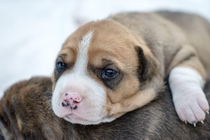 Cão de cachorrinho do pitbull foto de stock royalty free