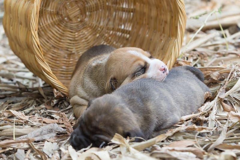 Cão de cachorrinho do pitbull imagens de stock