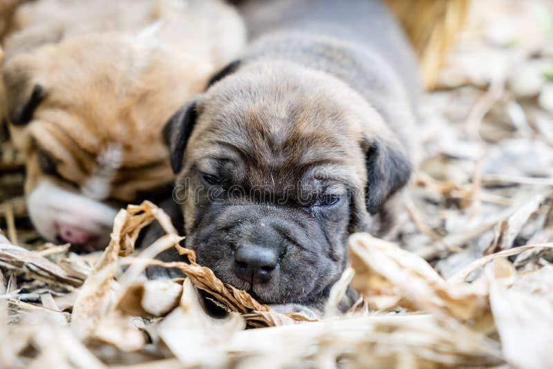 Cão de cachorrinho do pitbull imagem de stock royalty free