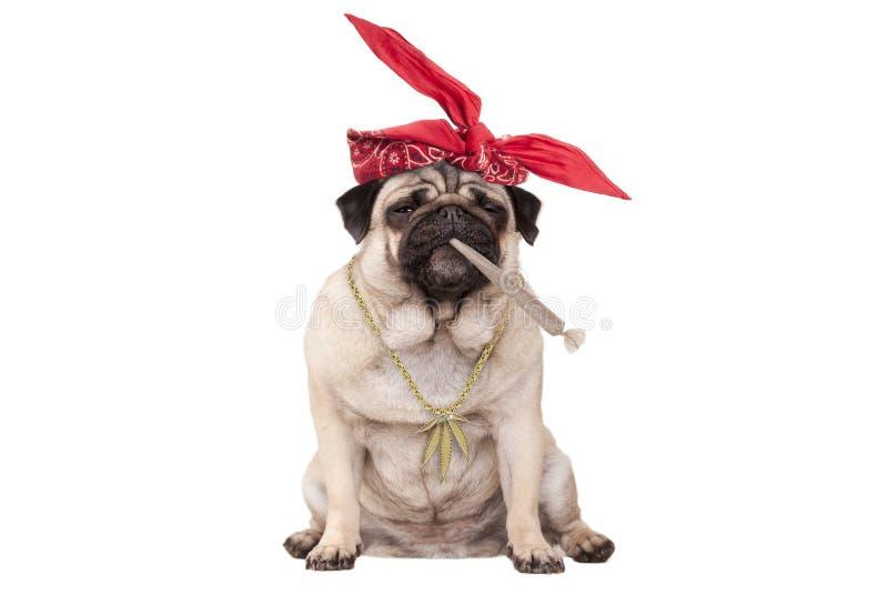 Cão de cachorrinho do Pug que é alto na junção de fumo da erva daninha da marijuana, isolada no fundo branco foto de stock royalty free