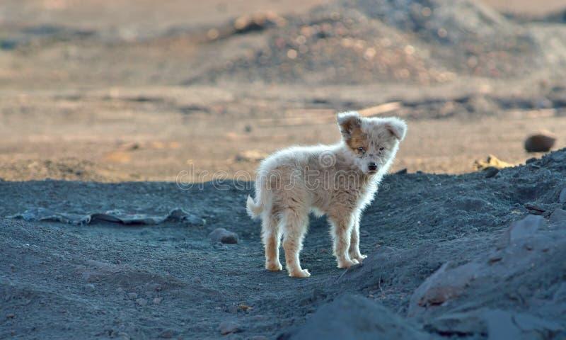 Cão de cachorrinho do vagabundo foto de stock