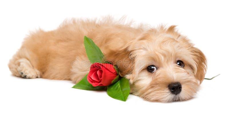Cão de cachorrinho havanese bonito que encontra-se com uma rosa vermelha fotos de stock