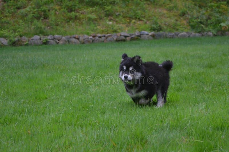 Cão de cachorrinho limitando de Alusky que corre através da grama verde imagem de stock royalty free