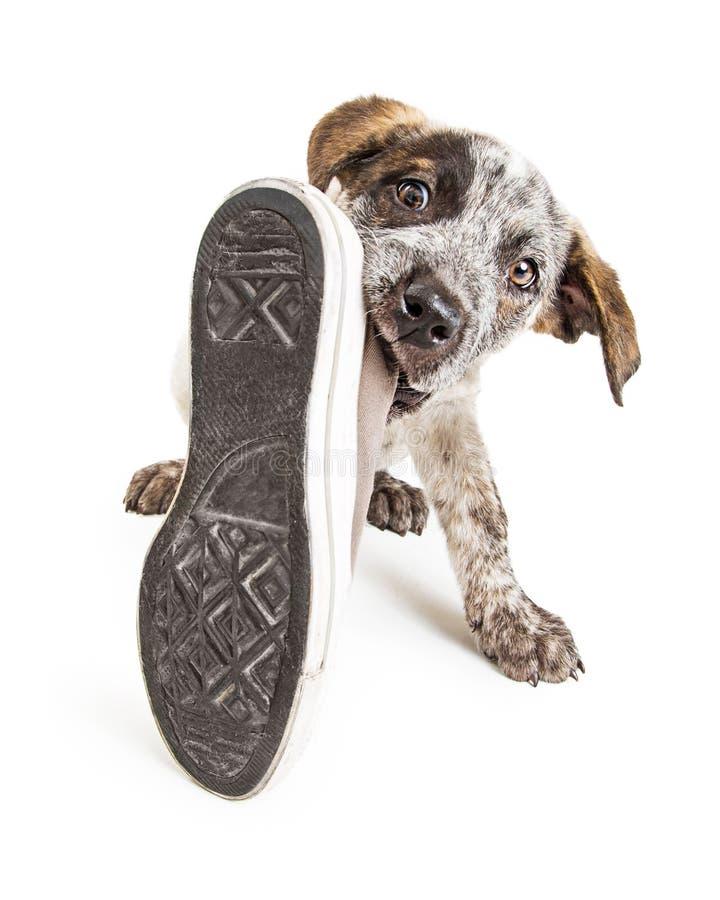 Cão de cachorrinho mau que rouba a sapata imagem de stock