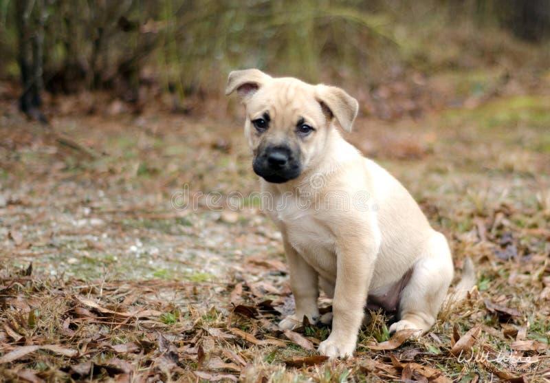 Cão de cachorrinho misturado louro da libra da raça imagens de stock royalty free