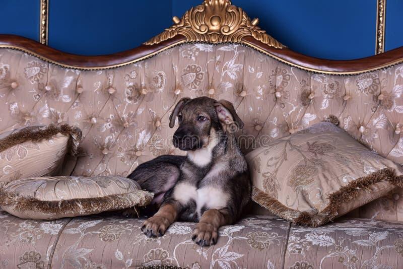 Cão de cachorrinho no sofá fotografia de stock