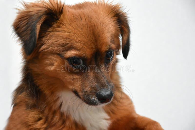 Cão de cachorrinho pequeno com os olhos surpreendidos grandes imagens de stock royalty free