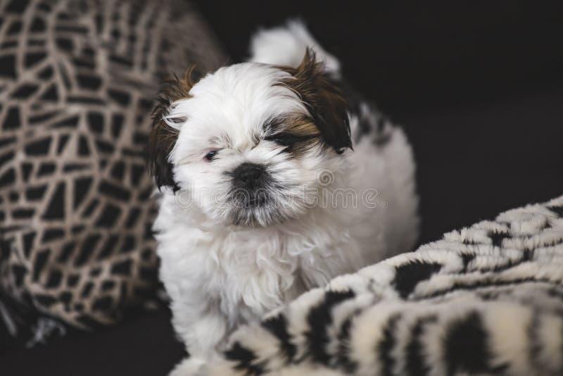 Cão de cachorrinho pequeno de Shi Tzu imagens de stock royalty free